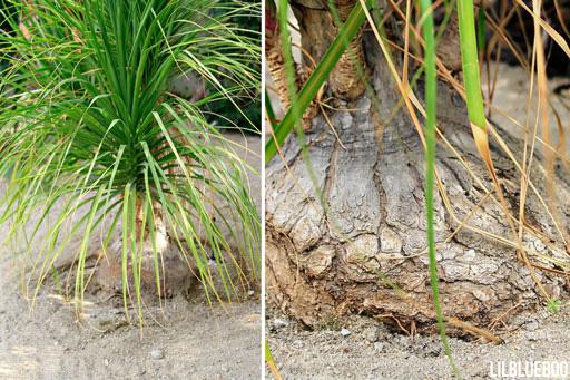 Elephant Palm (aka Ponytail Palm)