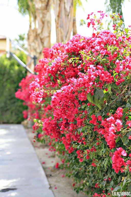 Hiding a wall:  Bougainvillea for landscape and garden