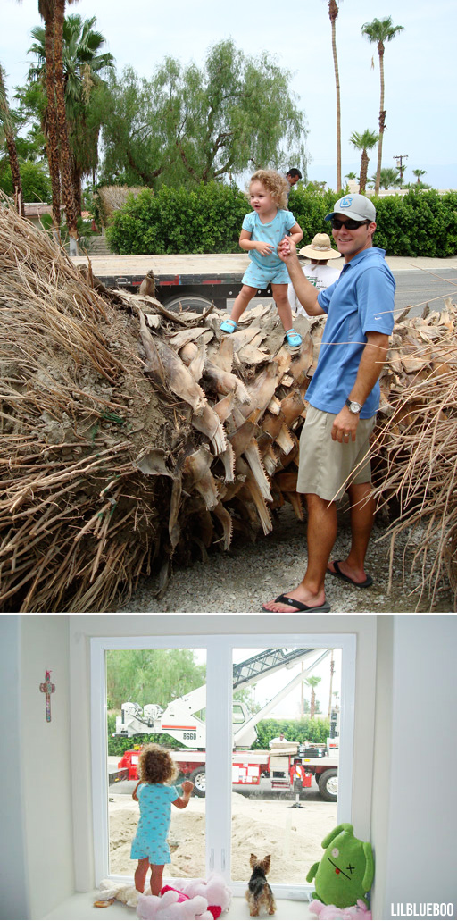 Planting the huge Washingtonia filifera Palms