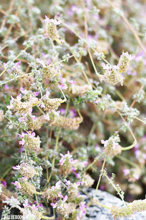 Wildflower Festival Palm Desert - Desert Lavender