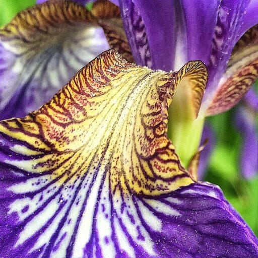 tiger iris