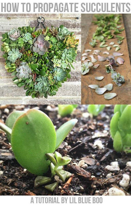 Propogating Succulents How to grow  succulents from leaf cuttings
