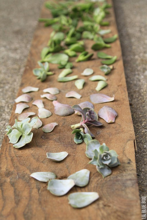 growing succulents from cuttings