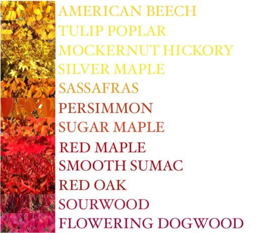 A guide to leaves: Fall Colors of the Leaves by Tree