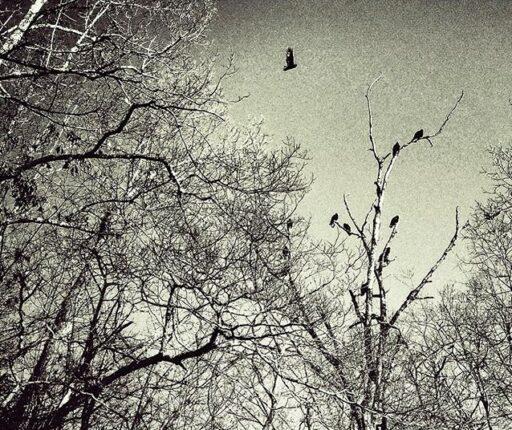 turkey vultures - peace eagle