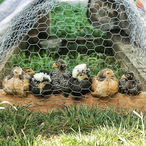 The Chicken Chronicles - raising baby chicks