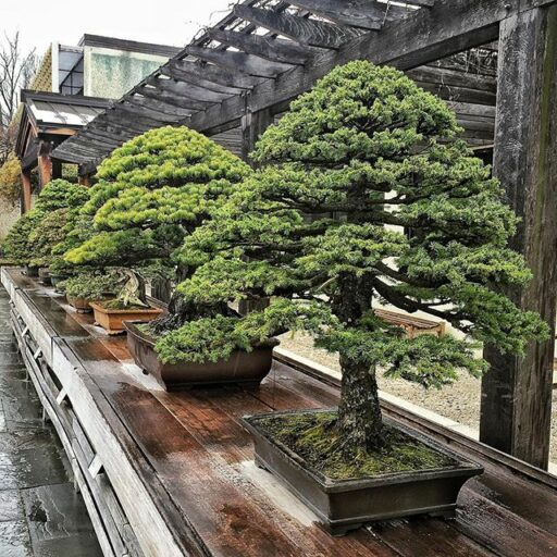 bonsai trees at the US national arboretum DC