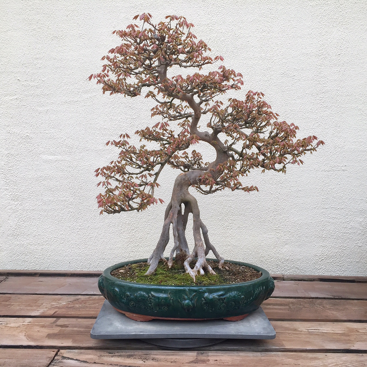 Mature bonsai