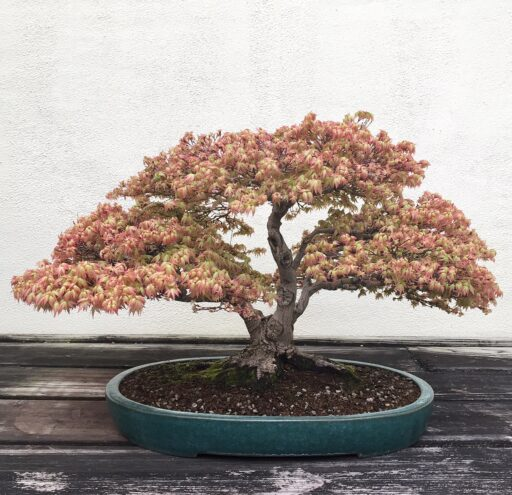 Japanese Maple dating back to 1946 bonsai tree