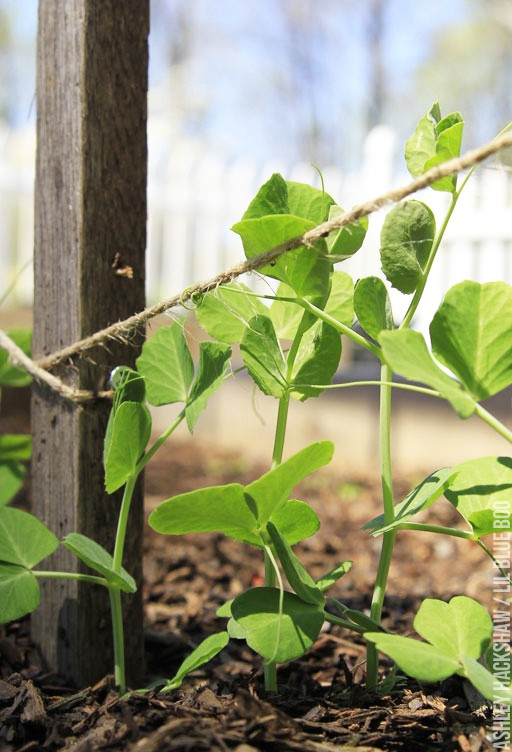 Build an easy  DIY Trellis for Snap Peas and Tomatoes