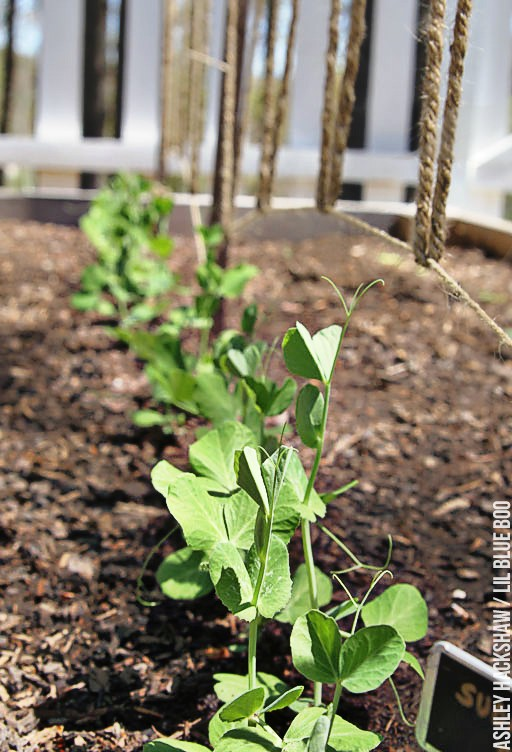 Edible Gardening - Easy DIY trellis for peas and other vines