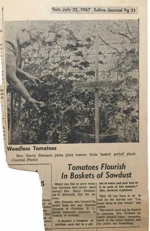 growing tomatoes in sawdust - vintage gardening article