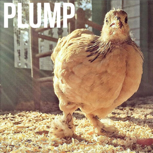 Buff Brahma Bantam Chicken - Plump - Boots with the fur