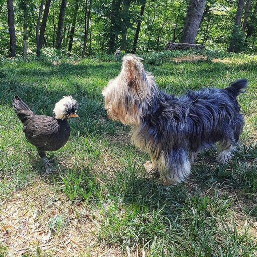 Dog meets chickens