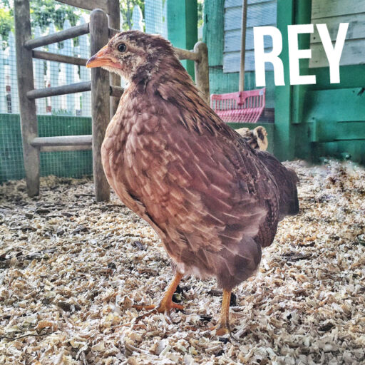 Backyard Flock Blog - Welsummer Bantam Chicken