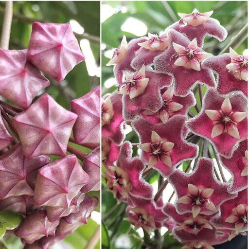 Hoya Wax Plant Biltmore Conservatory - #biltmoreblooms