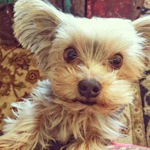 Max the Yorkie - Yorkshire Terrier