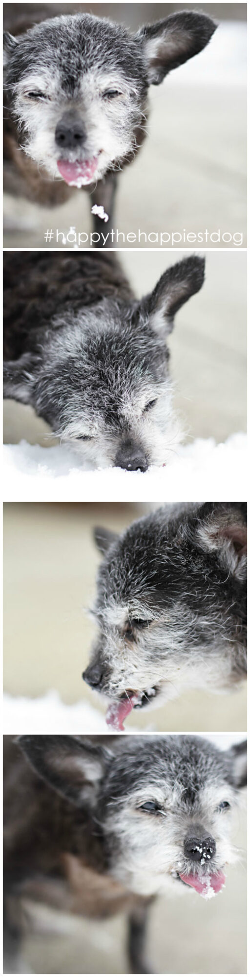 Happy Happily Eating Snow - Happy the Happiest Dog - Senior Rescue - Dog Adoption