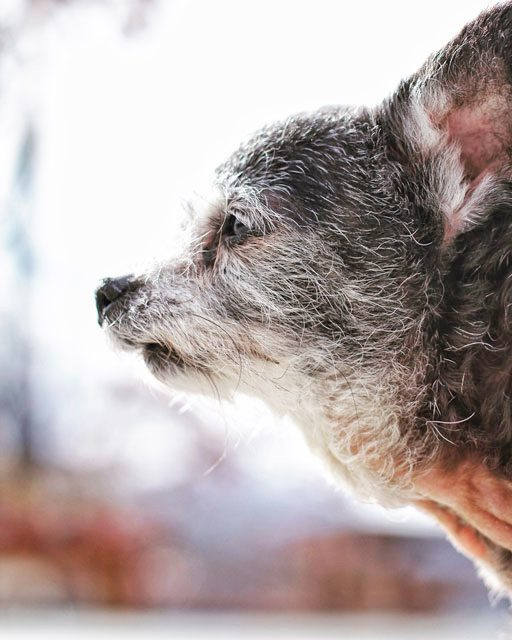 Happy My Spirit Animal - Senior rescue dog channeling her wolf ancestry