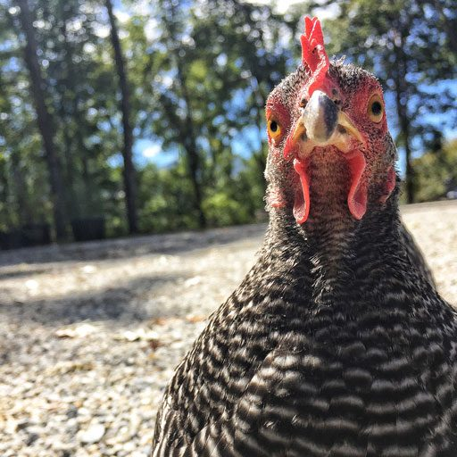 Broody Barred Rock Chicken