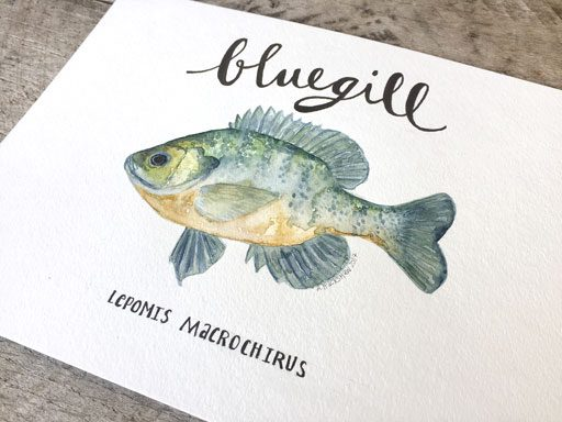 Bluegill Freshwater Fish Watercolor - Ashley Hackshaw - 365 Project - Daily Painting
