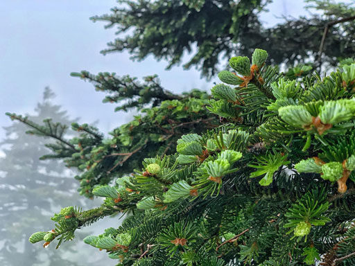 Clingmans Dome Spruce Fir Tree