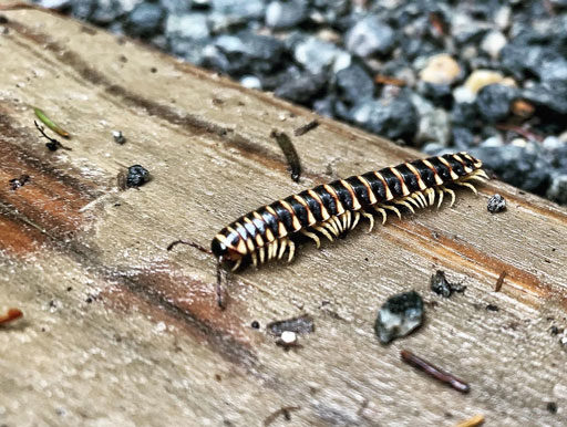 Centipede Smoky Mountains